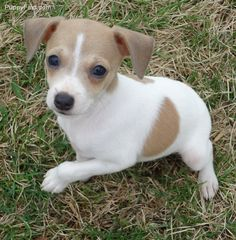 This is Tiny, a rat terrier puppy // I think the mystery of Pixie's breed is solved. Rat Terrier Puppies, Toy Fox Terriers, Rottweiler Puppies, Cute Puppies, Cute Dogs, Dogs And Puppies, Doggies, Baby Animals, Cute Animals