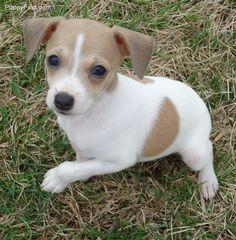 Rat Terrier Puppies