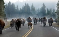 Bison in Yellowstone National Park. This is MY idea of traffic :)