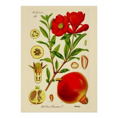 This colorful illustration is the work of  Otto Wilhelm Thomé (1840-1925) was a German botanist and botanical artist from Cologne best known for his compendium of botanical illustrations Flora von Deutschland, Österreich und der Schweiz in Wort und Bild für Schule und Haus (Flora of Germany, Austria and Switzerland in Word and Picture for School and Home) first of 4 volumes with a total of 572 botanical illustrations, published in 1885 in Gera, Germany. Another 8 volumes were added to the…