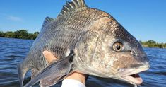 How To Catch Tailing Redfish, Black Drum, & Speckled Trout
