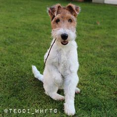 Teddi the soon to be 1 year old Wire Haired Fox Terrier Girl. Professional napper Hole digger, label chewer, sock thief, Rabbit impersonator
