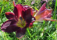 Hémérocalles, Walled garden, parc de Culzean Castle, Maybole, South Ayrshire, Ecosse, Grande-Bretagne, Royaume-Uni.