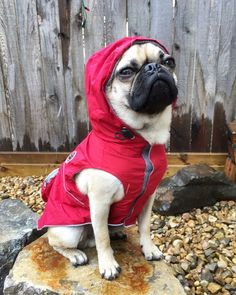 """Thank you to @ragnarpugventures! TAG us to be featured ~ """"""""I didn't choose the pug life....."""" Looks like I got my rain coat just in time. Thanks @doodledogsyyc for outfitting me in this stylish rain coat."""" . . . #puglife #puglifethuglife #raincoat #pugsnotdrugs #pugs #pugnation #pugsofinstagram #pugpuppy #dogsofinstagram #pugstagram #dogsofinstaworld #instapug #pugoftheday #hermoso #mopsliebe #carlino"""