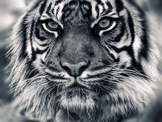 Tiger Head HD Pictures Black and White Beautiful Creatures, Animals Beautiful, Beautiful Beautiful, Regard Animal, Animal Close Up, Animals And Pets, Cute Animals, Wild Animals, Animals Photos