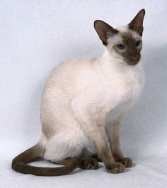 Beautiful chocolate point Siamese cat. This is a short hair cat.