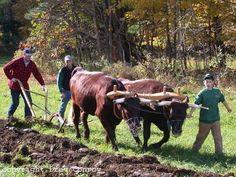 American Milking Devon Cattle being worked as oxen.