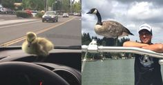 A Man Rescued A Gosling From Drowning. 2 Years Later, She Still Refuses To Leave…