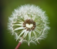 Heart in dandelion, make a wish