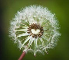 Heart in dandelion, make a wish I Love Heart, With All My Heart, Happy Heart, Love Is All, Heart In Nature, Heart Art, Foto Portrait, Dandelion Wish, Heart Pictures