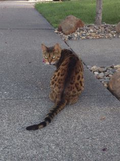 I met a tiny jaguar on my walk! - Imgur