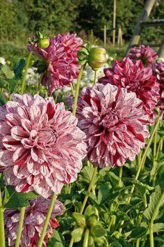 Die Dahlie 'Painted Lady' wird weit über einen Meter hoch und verblüfft mit Blüten, die wie mit dem Pinsel bemalt wirken - dabei wirkt keine Blüte wie die andere. Jede zeigt eine andere Musterung. Ein Traum in dunklem Rot und hellem Rosa. #Dahlie #Sommer #Knolle #Beet #Garten