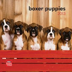 Boxer Puppies Mini Wall Calendar: Boxer puppies are darling, intelligent, athletic, and social, all the lovely qualities of an adult boxer in miniature. Spirited, yet even-tempered, a Boxer makes a fabulous pet.  $7.99  http://calendars.com/Boxer/Boxer-Puppies-2013-Mini-Wall-Calendar/prod201300004538/?categoryId=cat00220=cat00220#