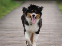 Lasko, chien Berger australien