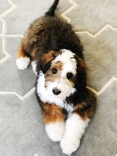 I'm Desi The Bernedoodle! I'm 1/2 Bernese Mountain Dog and 1/2 Poodle but 100% Cute! The Snuggle is Real! http://ift.tt/2FC00Qu #BerneseMountainDog #poodlepuppy