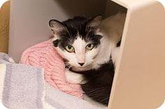 Asheville, NC - Domestic Shorthair. Meet Spunky, a cat for adoption. http://www.adoptapet.com/pet/16697516-asheville-north-carolina-cat