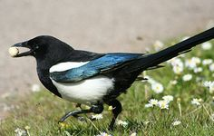 A Magpie, with some (no doubt) purloined object