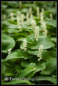 May Lily, aka False Lily of the Valley, Maianthemum dilatatum