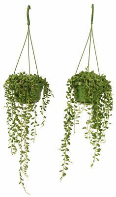 Hang deze mooie Erwtenplantjes op een lichte plek in huis, maar niet in de volle zon. #ogreen #nature #urbanjungle