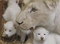 White lion with her cubs