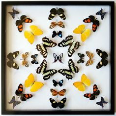 Beauty Never Dies. Real Mounted Butterflies Collection Gift.