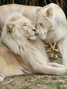 The white lion companions exchanging affectionate nose rubs affective white Majestic Animals, Rare Animals, Cute Baby Animals, Animals And Pets, Wild Animals, Lion Pictures, Animal Pictures, Beautiful Cats, Animals Beautiful