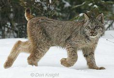 canadian lynx pictures | Canadian Lynx -Canadian Lynx
