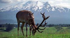 Hunting trip to New Zealand! Maybe someday. Trophy Hunting, Maybe Someday, New Zealand Travel, Hunting Season, Nature Photography, Cute Animals, Wildlife, Fishing, Bucket