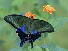 Japanese Swallowtail Butterfly (Papilio Bianor) • by Leroy Simon