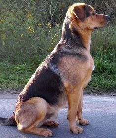 Räuber (Schäferhund, Rottweiler, Retriever, Siberian Husky) Mischling Mix Dog Friends, Best Friends, Rottweiler Mix, Schaefer, Husky Mix, Mixed Breed, Big Dogs, Corgi, Cute