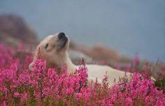 Когда день удался. белый медведь, цветы, michael poliza, Животные, длиннопост