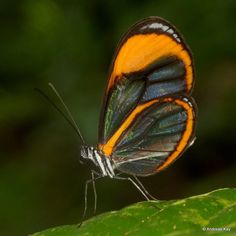 https://flic.kr/p/T7yZ2P | Clearwing butterfly | from Ecuador: www.flickr.com/andreaskay/albums
