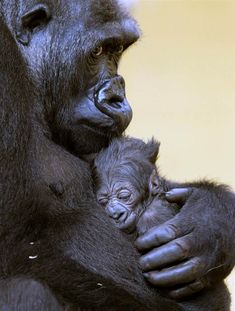 Gorilla 'Moja' holds her baby after its birth at the Nature Park of Cabarceno in Cantabria Spain on April 16.