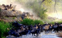 The wildebeest migration, one of the greatest spectacles in the natural world,   has begun – three months ahead of schedule