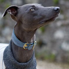 Whippet Padded Leather Collar Blue