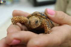 Henry Doorley Zoo has the worlds smallest turtle. The female lays largest eggs compared to the body size. Speckled Padloper of South Africa.