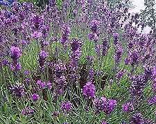 Winemaking Recipe for Lavender Wine, How To Make Lavender Wine: Wine Making Guides