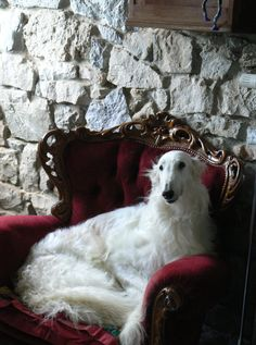 White borzoi in the red armchair. #animals #dogs #borzoi
