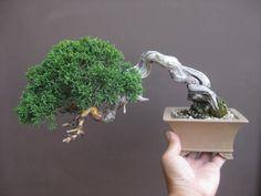 盆栽:シンパクをばっさり 春嘉の盆栽工房