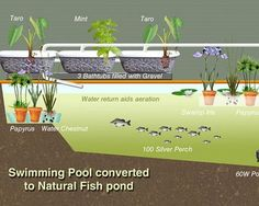 Aquaponics is becoming an increasingly popular method of permaculture, probably because it can start with a backyard swimming pool. While creating an ecosystem on one's own may seem like a daunting task […] Backyard Aquaponics, Aquaponics Fish, Fish Farming, Aquaponics System, Hydroponic Gardening, Natural Swimming Pools, Swimming Pools Backyard, Garden Pool, Water Garden