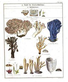 mushrooms and fungi in Das System der Pilze und Schwämme (1817) #Booktower