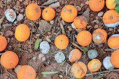 Syngenta Ridomil, Gold Plus  Fungicidas: para el control del aguado de los cítricos