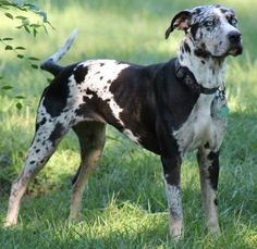 Estella is an adoptable Catahoula Leopard Dog searching for a forever family near Minneapolis, MN. Use Petfinder to find adoptable pets in your area.