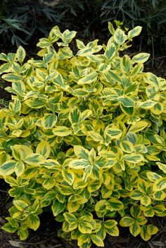 Gold Splash® Wintercreeper (Euonymus fortunei), a Proven Winner variegated evergreen shrub for year-round color. A new and improved euonymus with excellent disease resistance, color, and hardiness. Easy and adaptable. 18-24 in. high and wide. Mounded form. Zones 5-8. For part sun to sun.