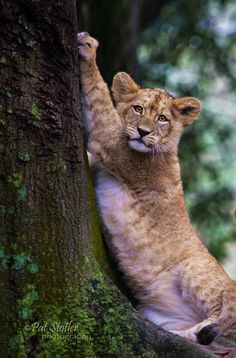 ~~Little Tree Hugger | 3 month old lion cub | by Pat Stotler~~