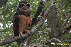 Spectacled Owl. Panama - Google Search