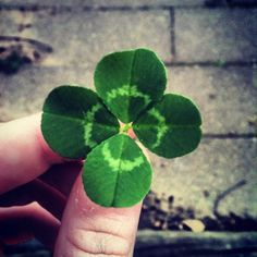 lovely Irish four leaf clover
