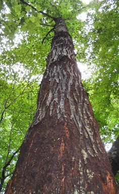 A healthy American chestnut tree in Jackson County, Tennessee. Credit: The American Chestnut Foundation