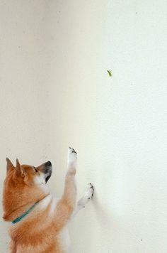 Adorable Shiba catching a grasshopper?