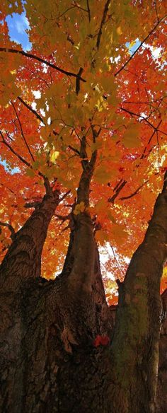 Magnificient Maple Tree.  Fall is every bit as colorful as spring.  Actually it is my favorite time of the year.